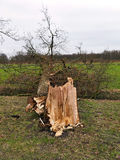 Damaged broken tree by hurricane wind after storm Royalty Free Stock Images