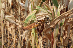 Damaged corn crop in field Royalty Free Stock Photo