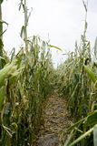 Damaged Corn Field stock image