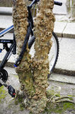 Damaged Crepe Myrtle. This is what years of chaining bikes to these trees will cause Stock Images