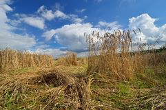 Damaged crops wheat made by boars. Royalty Free Stock Photography