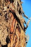 Damaged and diseased bark of eucalyptus tree texture in the mountain. Damaged and diseased bark of eucalyptus tree texture in the mountain stock images