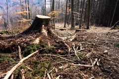 Damaged forest after logging with remaining stumps. Damaged forest after extensive logging with remaining stumps royalty free stock photos