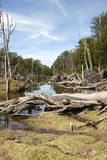 Damaged Forests -  Argentina - Ushuaia - Tierra del Fuego Royalty Free Stock Image