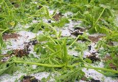 Damaged gourd after hailstorm Stock Photo