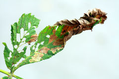 Damaged Horse chestnut leaf on tree Royalty Free Stock Image