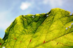 Damaged leaf by insects Royalty Free Stock Photography