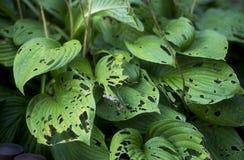 Damaged leaves Stock Image