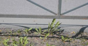 Damaged leaves of plants of small stature in city traffic swaying on a branch.  stock footage