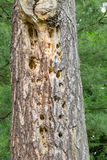 Damaged Pine Tree Stock Photos