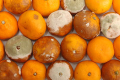 Damaged tangerine fruits Stock Photos