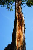 Damaged tree Royalty Free Stock Images