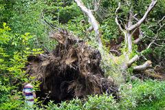 Damaged tree after the storm. Old damaged tree with roots after the storm Royalty Free Stock Image