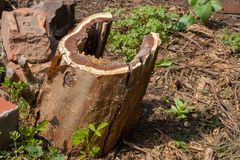 Damaged Tree Stump. A damaged tree stump after a rotten tree had been felled Stock Image