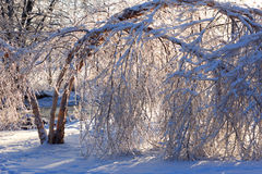 Damaged trees after an extreme ice storm. Stock Photo