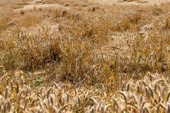 Damaged wheat Stock Photography