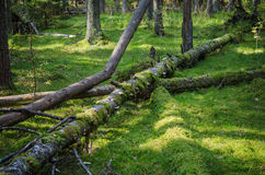 Damaged wood pests and fallen trees in the forest Royalty Free Stock Images