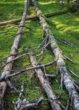 Damaged wood pests and fallen trees in the forest Stock Photography