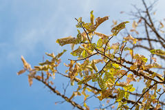 Damaged yellow Autumn leaves of Elm tree caused by Caterpillar i Royalty Free Stock Photo