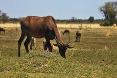 Damaliscus lunatus, Topiand Tsessebe, in the Bwabwata National Park, Namibia Stock Image