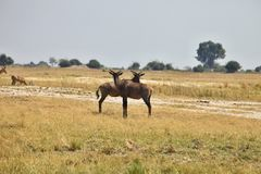 Damaliscus lunatus, Topiand Tsessebe, in the Bwabwata National Park, Namibia Stock Photography