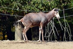 Damaliscus Pygargus Phillipsi Baby Exotic Animals. Damaliscus Pygargus Phillipsi Baby Exotic African Animals Mammals royalty free stock photos