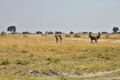 Damaliscuslunatus, Topiand Tsessebe, i den Bwabwata nationalparken, Namibia Arkivfoton