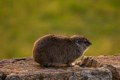 Daman非洲蹄兔蹄兔目Procaviidae 库存照片
