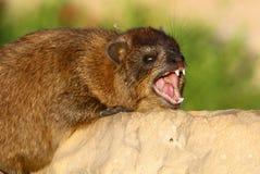 Daman食草哺乳动物 库存图片