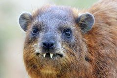 Daman食草哺乳动物 免版税库存照片
