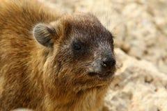 Daman食草哺乳动物 库存照片