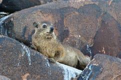 Daman утеса, Намибия, Африка Стоковое фото RF