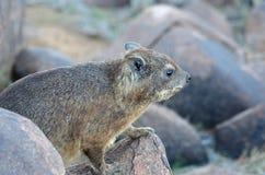 Daman della roccia, Namibia, Africa Fotografia Stock Libera da Diritti