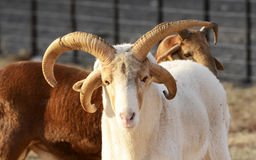 DAMARA绵羊 库存照片