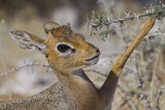 Damara Dik Dik Stock Photos