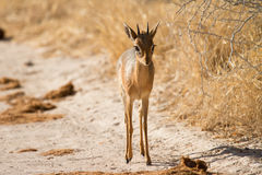 Damara Dik-Dik Royalty Free Stock Images