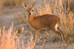 Damara Dik-Dik Stock Images