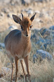 Damara Dik-dik Royalty Free Stock Photos