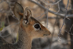 Damara Dik-Dik Royalty Free Stock Photography