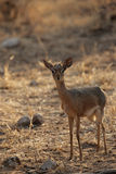 Damara Dik-Dik Royalty Free Stock Photo