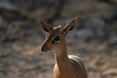 Damara Dik-Dik Stock Photos
