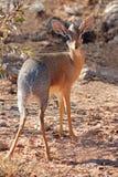 Damara dik-dik Antilope Stockbild