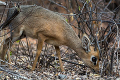 Damara Dik Dik, eating. Stock Photography