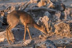 Damara Dik-dik foraging Etosha. Dik-dik Madoqua kirkii foraging amongst rocks in Etosha National Park, Namibia stock image