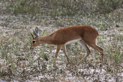 Damara Dik Dik - Namibia Stock Images