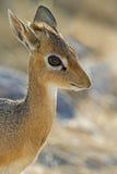 Damara Dik- Dik portrait. Madoque kirkii; Namibia stock image