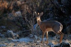 Damara dikdik standing in the bush, etosha nationalpark, namibia. Damara dikdik standing and look out of the bush, etosha nationalpark, namibia, madoqua kirkii Stock Image