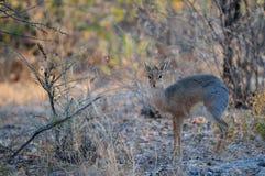 Damara dikdik standing in the bush, etosha nationalpark, namibia. Damara dikdik standing and look out of the bush, etosha nationalpark, namibia, madoqua kirkii Royalty Free Stock Photography