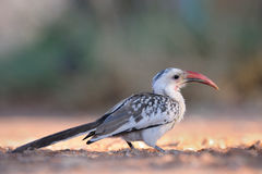 Damara Hornbill. Standing on ground Stock Image