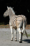 Damara zebra Stock Photo